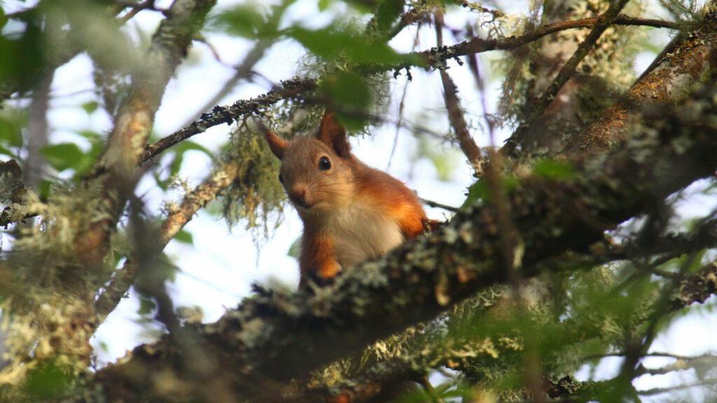 red squirrel Strathspey Scotland