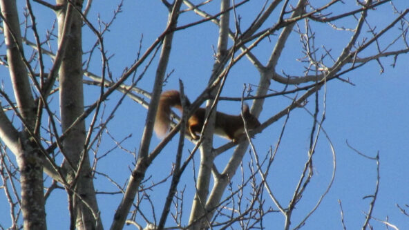 red squirrel in aspen on the threatened School Wood site in the CNP