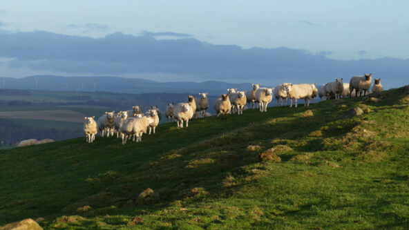 Sheep on Black Hill, South Lanarkshire